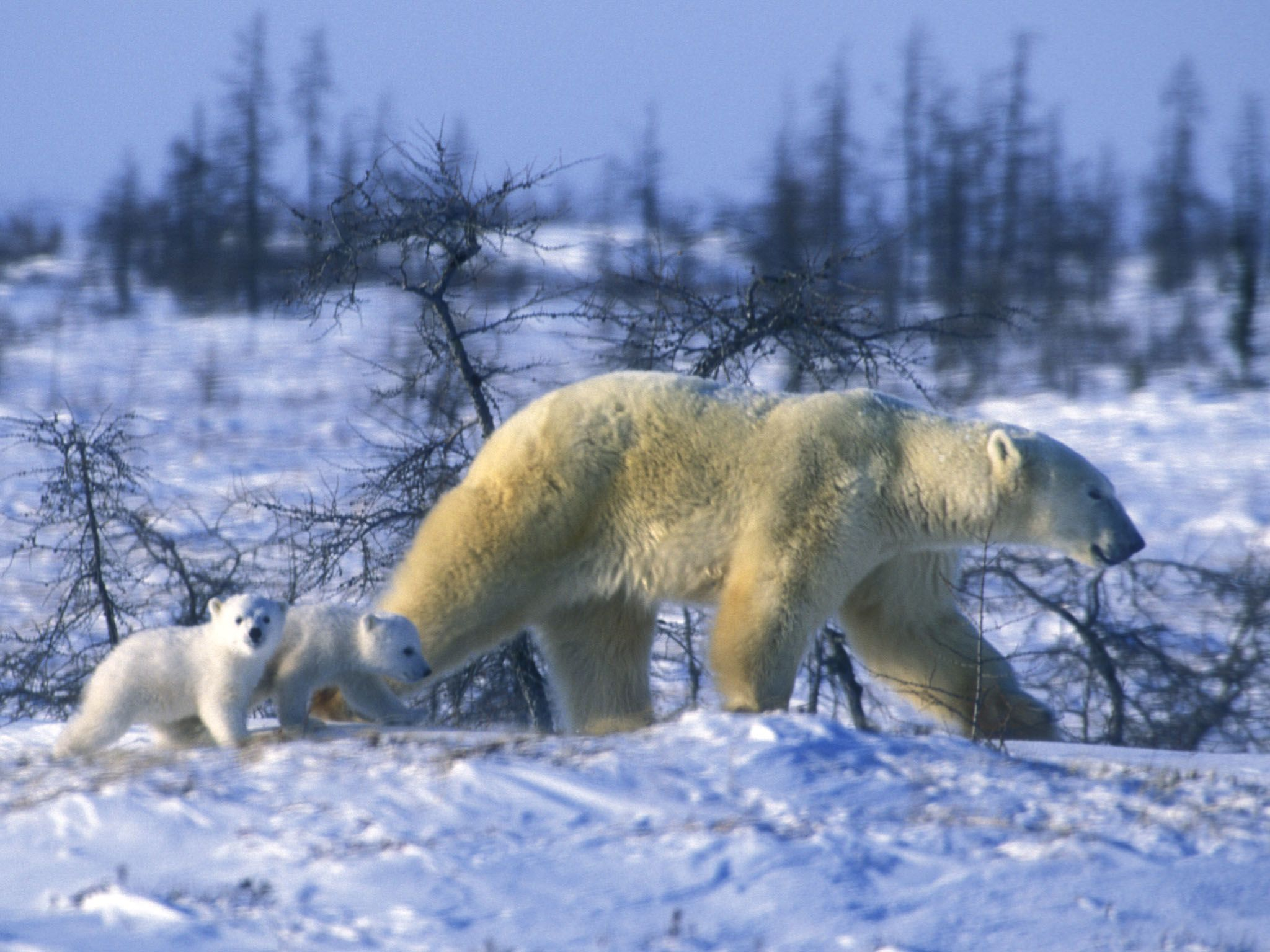 A polar bear and her cub. This image is from Kingdom of The Polar Bears. [Photo of the day - March 2021]