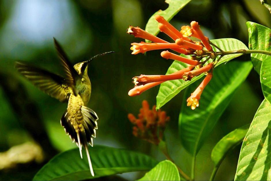 من السهل على طيور الطنان ملاحظة اللون الأحمر وسط... [Photo of the day - يونيو 2012]