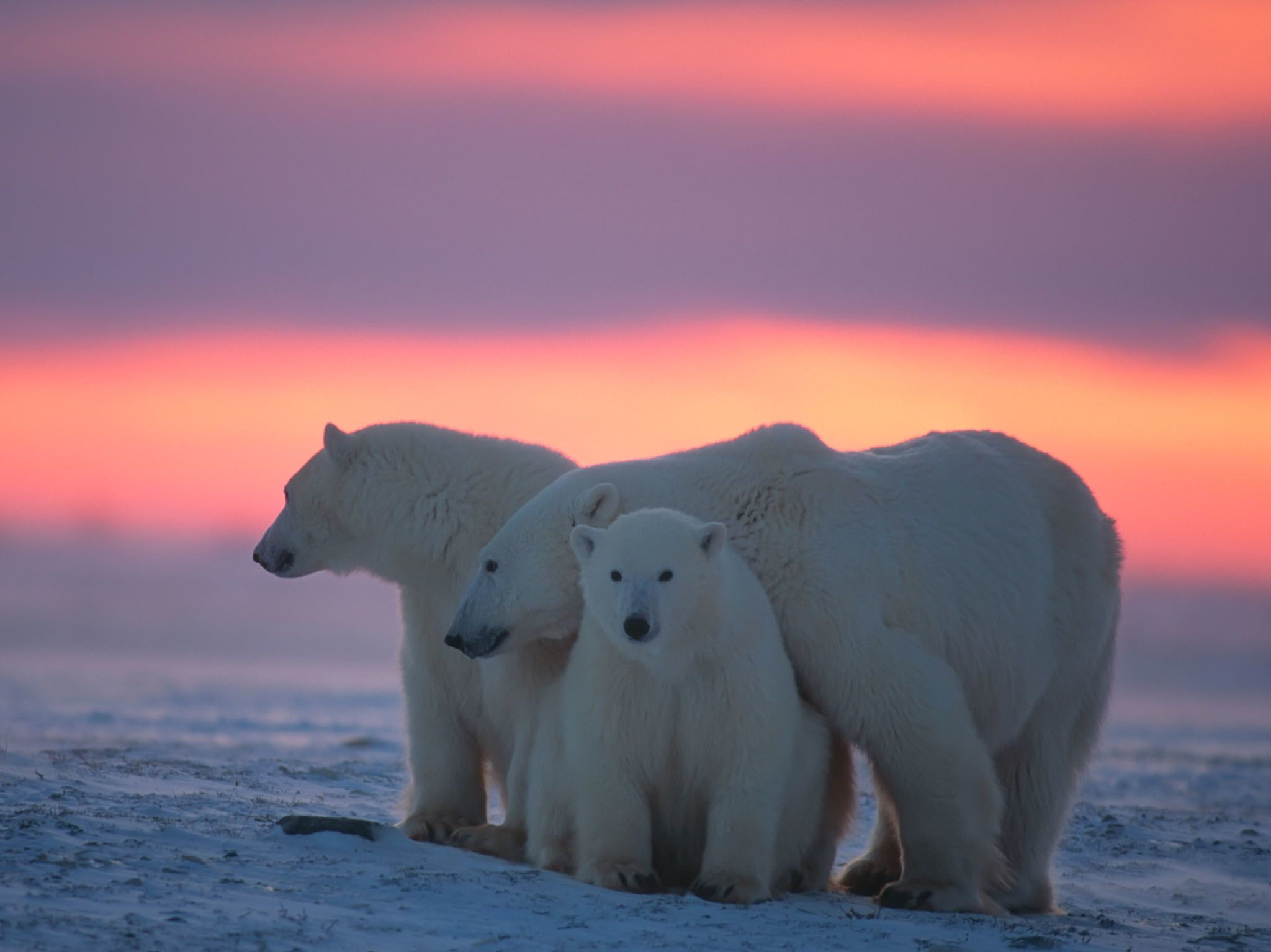 A polar bear and her two cubs huddle together during sunset. This image is from Kingdom of The... [Photo of the day - March 2021]