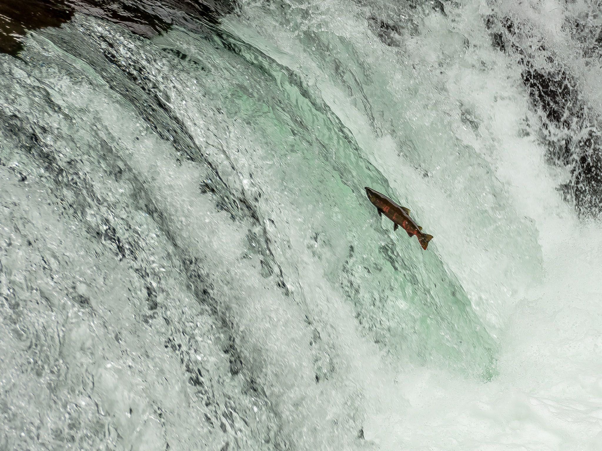 Cherry salmon face many hurdles to get to their spawning grounds. This image is from Asia's Wild... [Photo of the day - March 2021]