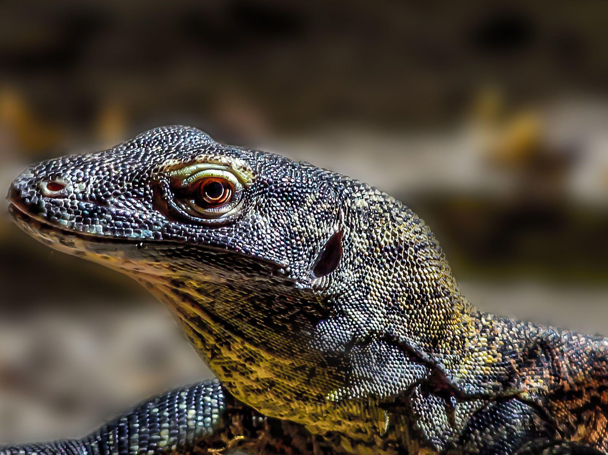There is no parental care for baby Komodo dragons. This image is from Asia's Wild Secrets. [Photo of the day - March 2021]