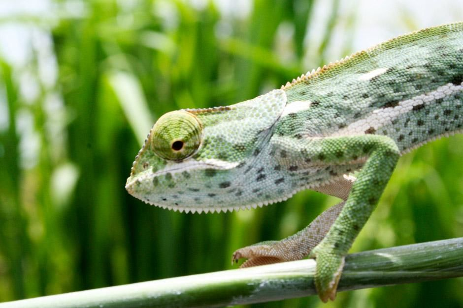 A Chameleon in Gorongosa National Park. This image is from Africa's Lost Eden. [Photo of the day - 六月 2012]