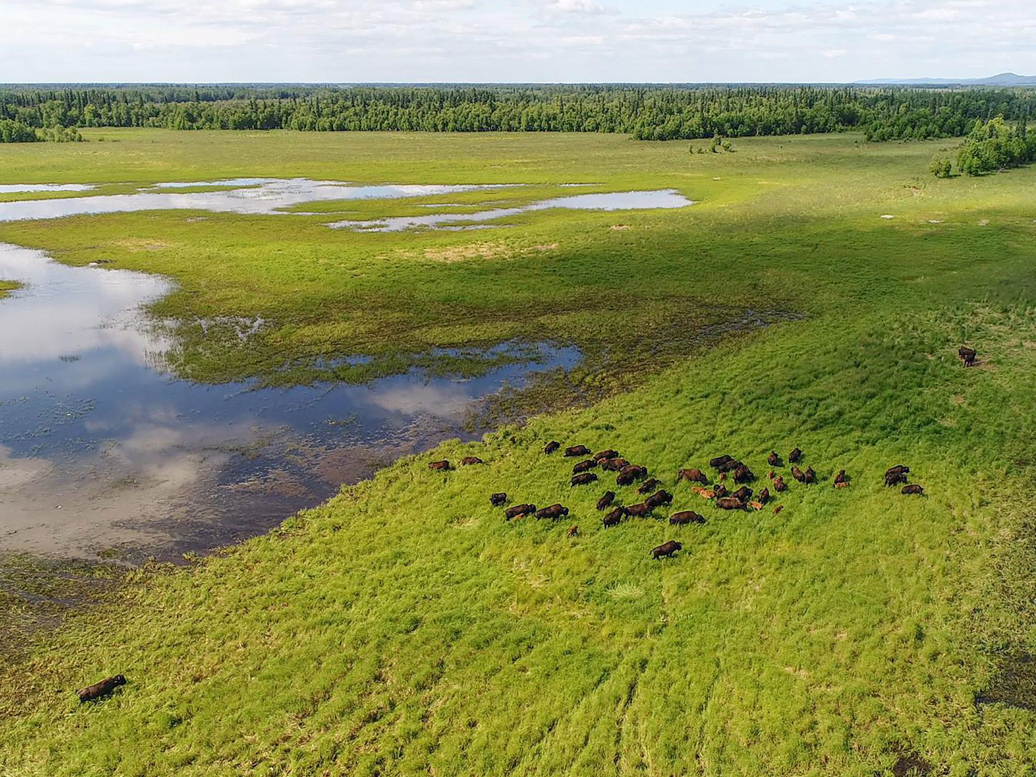 A herd of wild wood bison released by the Alaska Wildlife Conservation Center and Alaska... [Photo of the day - March 2021]