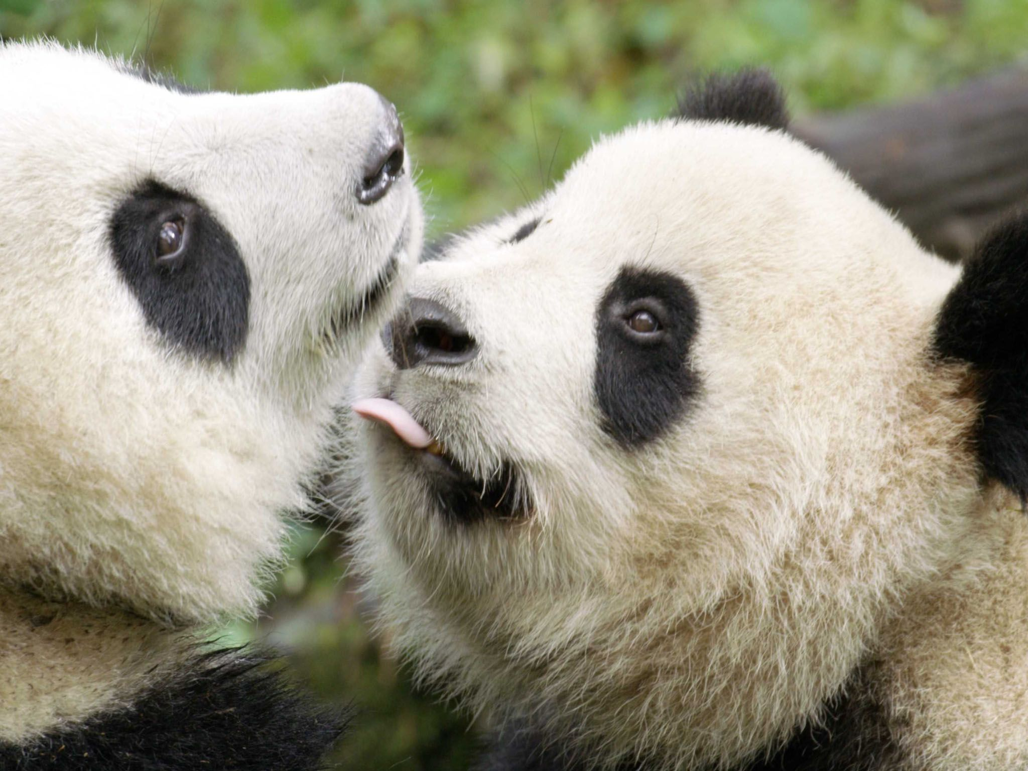 Three-year-old panda and his mum in Wolong. He is no longer a teenager – and should take... [Photo of the day - April 2021]