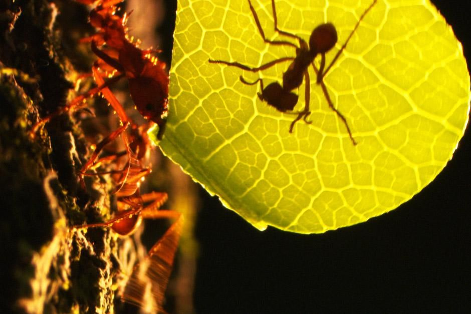 Most trees in the rainforest protect their leaves using toxins. The leafcutter ant has a unique... [Photo of the day - June 2012]