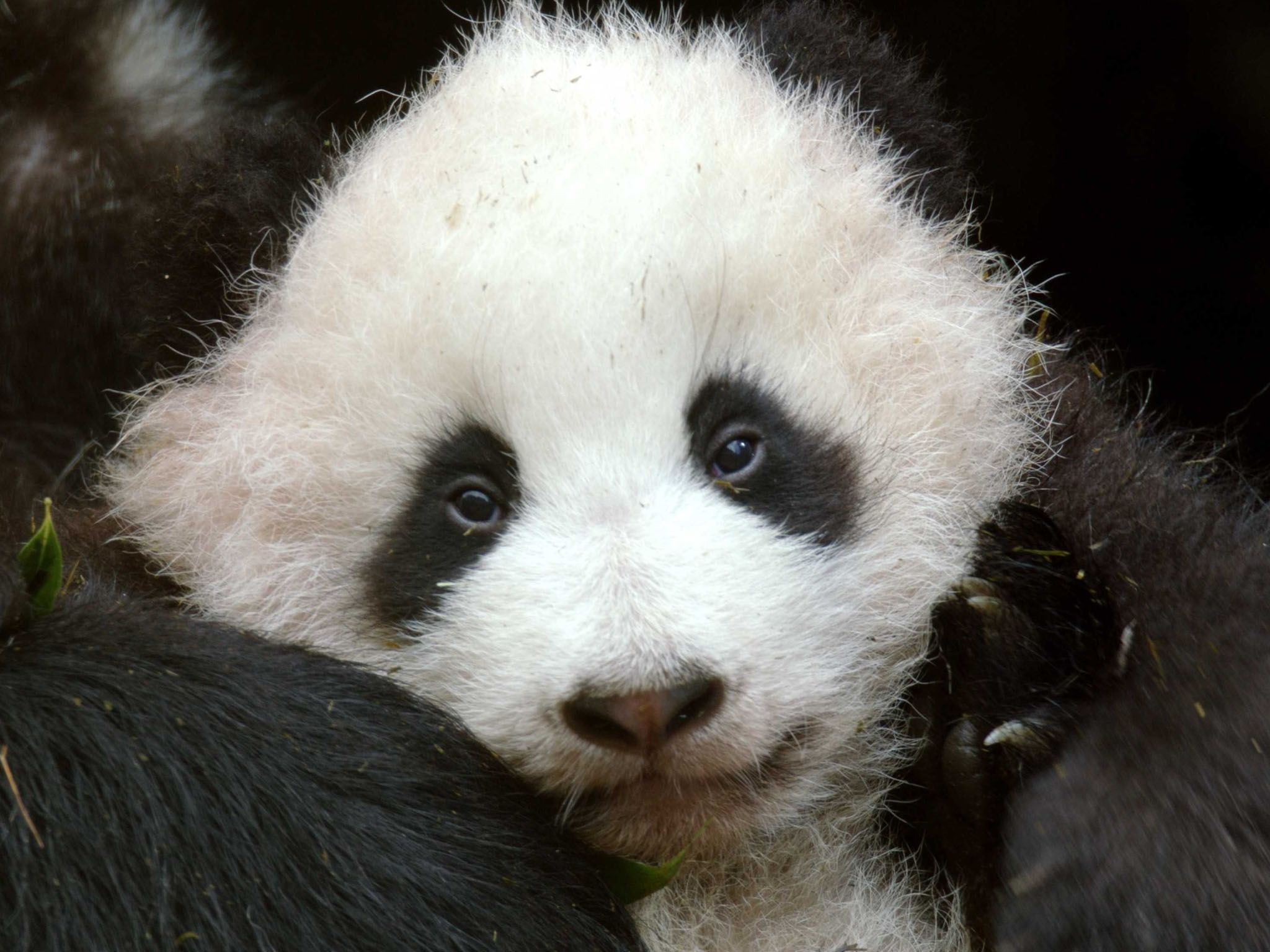 Three-month-old panda at Wolong, who is trained for reintroduction in the wilderness of the... [Photo of the day - April 2021]