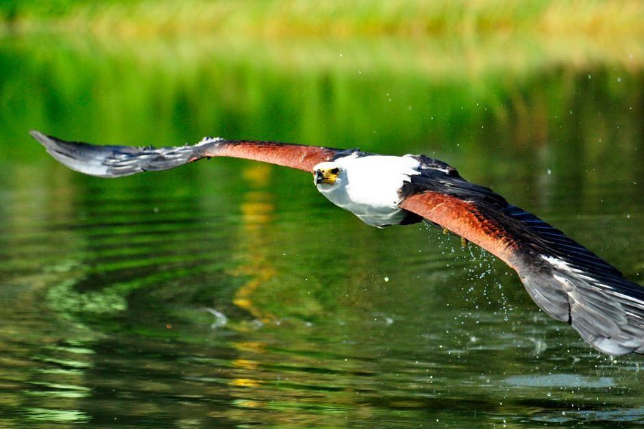 دولستروم بجنوب إفريقيا: نسر السمك يسير على سطح الماء.... [Photo of the day - يونيو 2012]