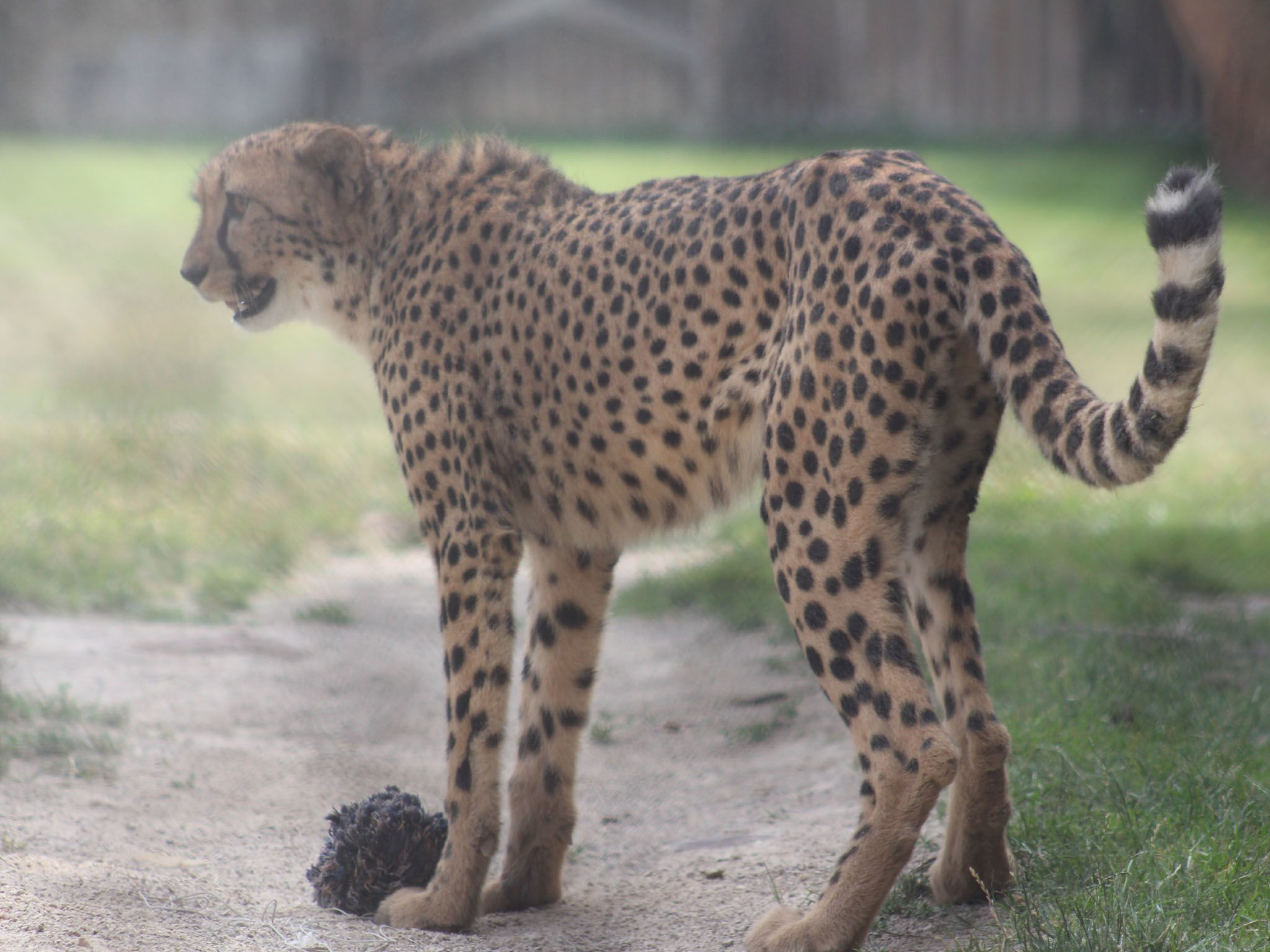 Bob the cheetah takes Kvamme's place in the Cheetah Run as the vet team bring him to see Dr.... [Photo of the day - April 2021]