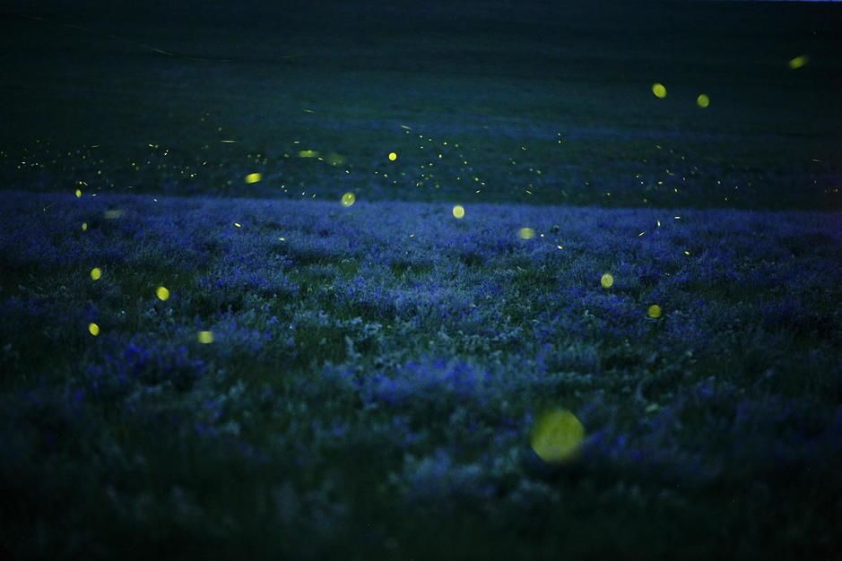 Lightning bugs and wild alfalfa blanket the prairie in Strong City, Kansas. USA. [Photo of the day - September 2011]