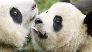 Three-year-old panda and his mum in... [Photo of the day - 18 APRIL 2021]