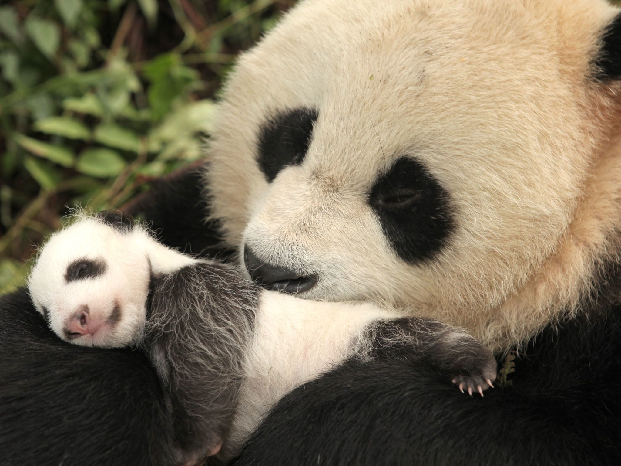 One-month-old panda and mum, Wolong. This image is from Panda goes wild. [Photo of the day - April 2021]