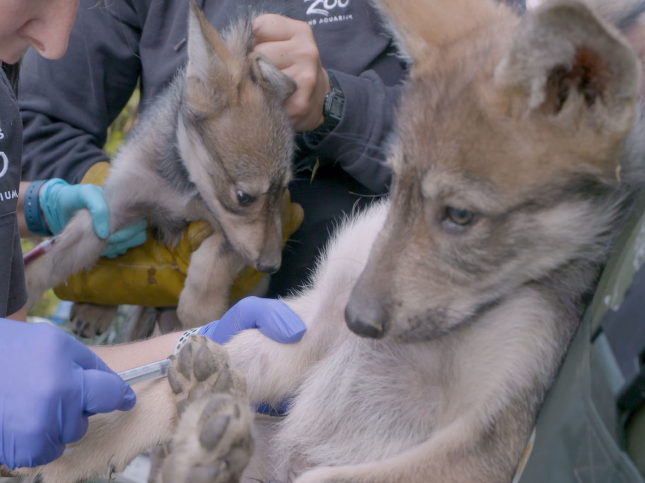 Tessa Wilhelm and the team successfully give the Mexican wolf puppies their very first exam to... [Photo of the day - April 2021]