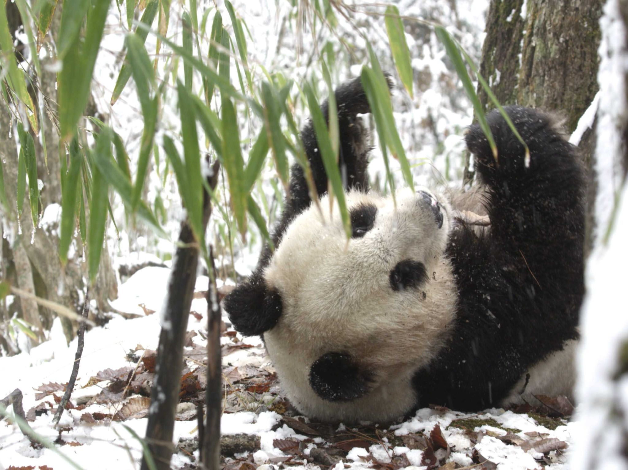 Giant Pandas are bears – relatives of grizzlies, black and polar bears. But surprisingly... [Photo of the day - April 2021]
