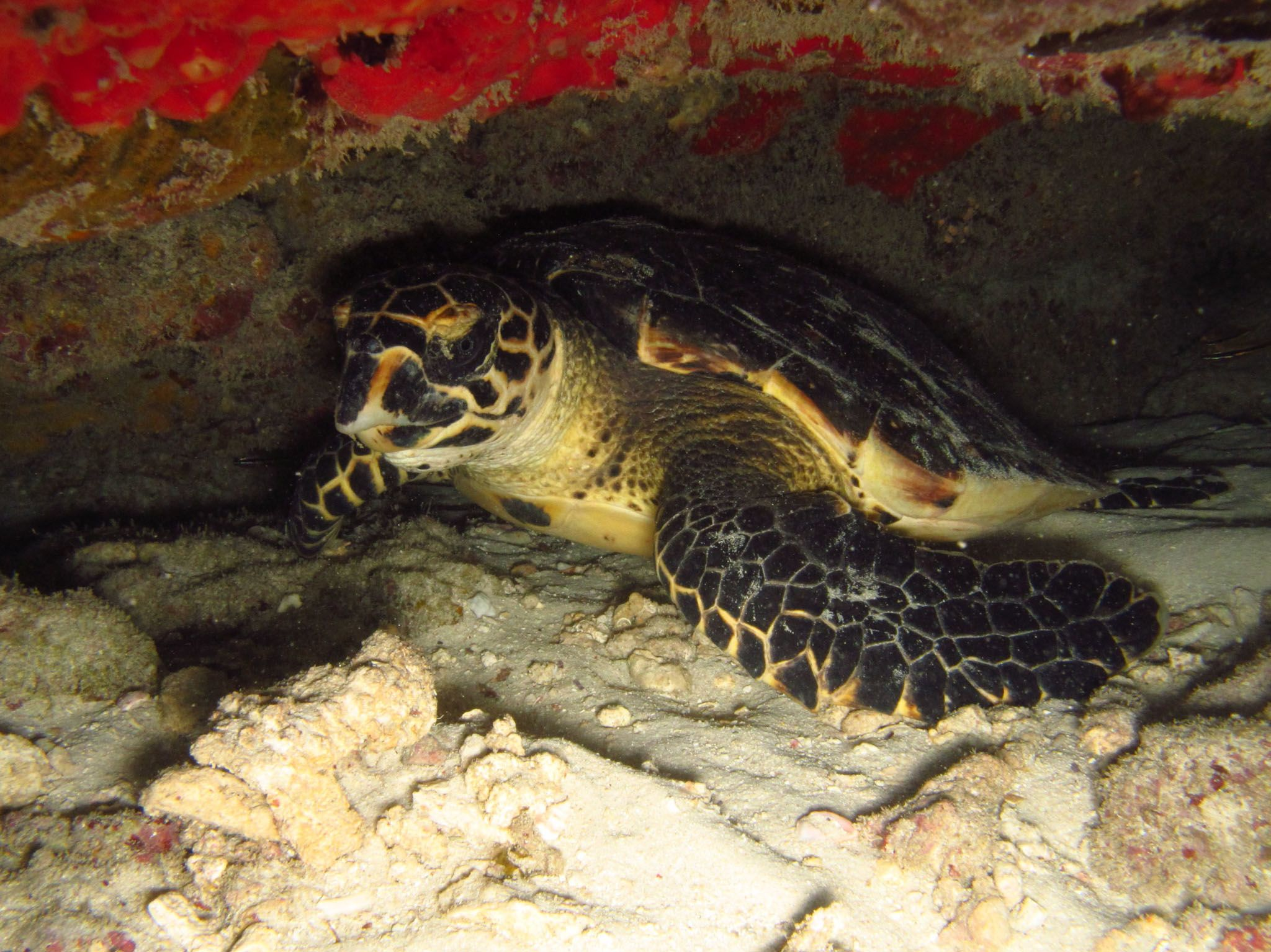 Maziwe Island, Tanzania - A Hacksbill turtle around the island.  This is from Jane Goodall:... [Photo of the day - May 2021]