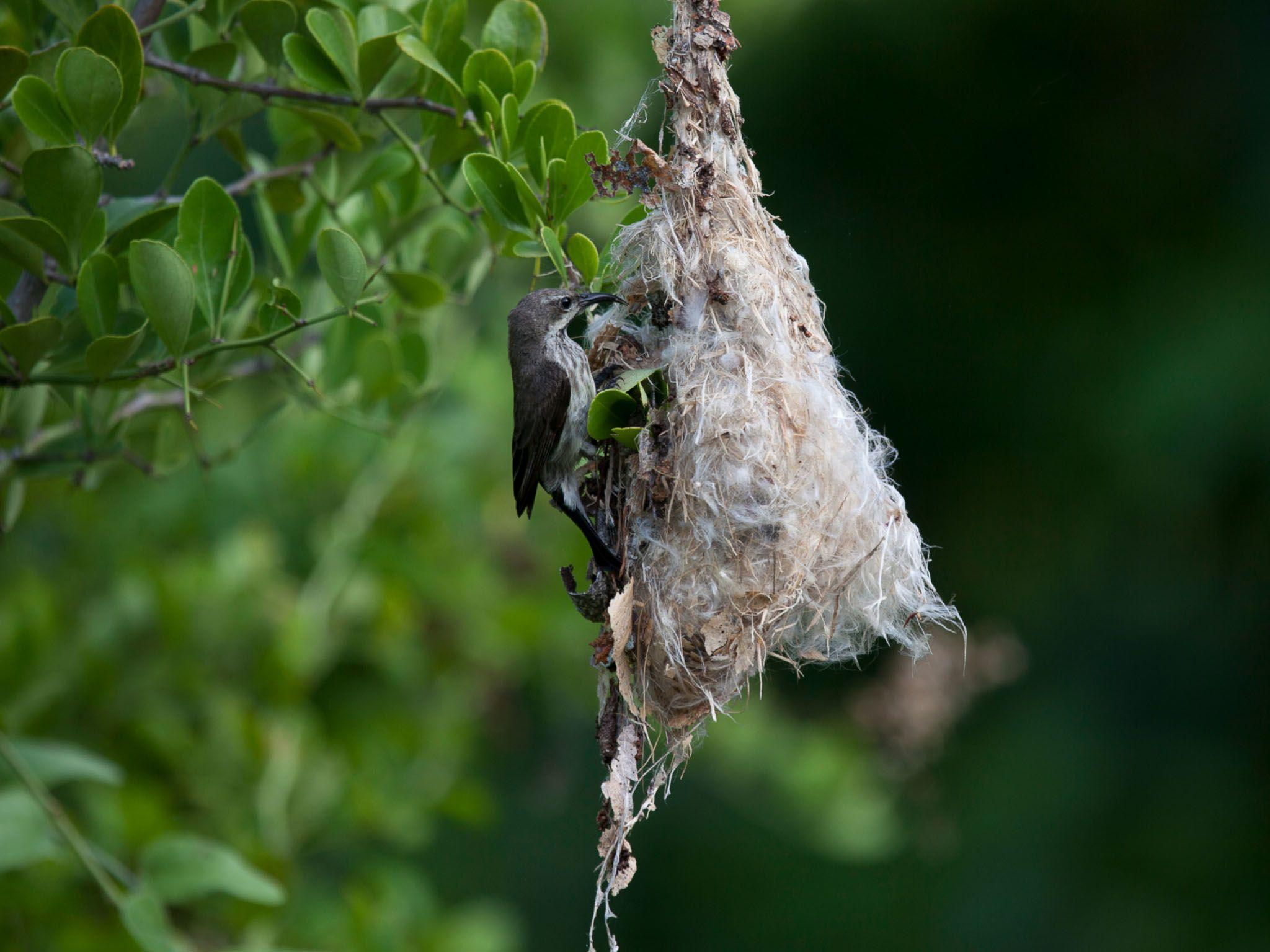 Chumbe Island, Zanzibar - Sunbird nesting. This is from Jane Goodall: Saving Paradise. [Photo of the day - May 2021]