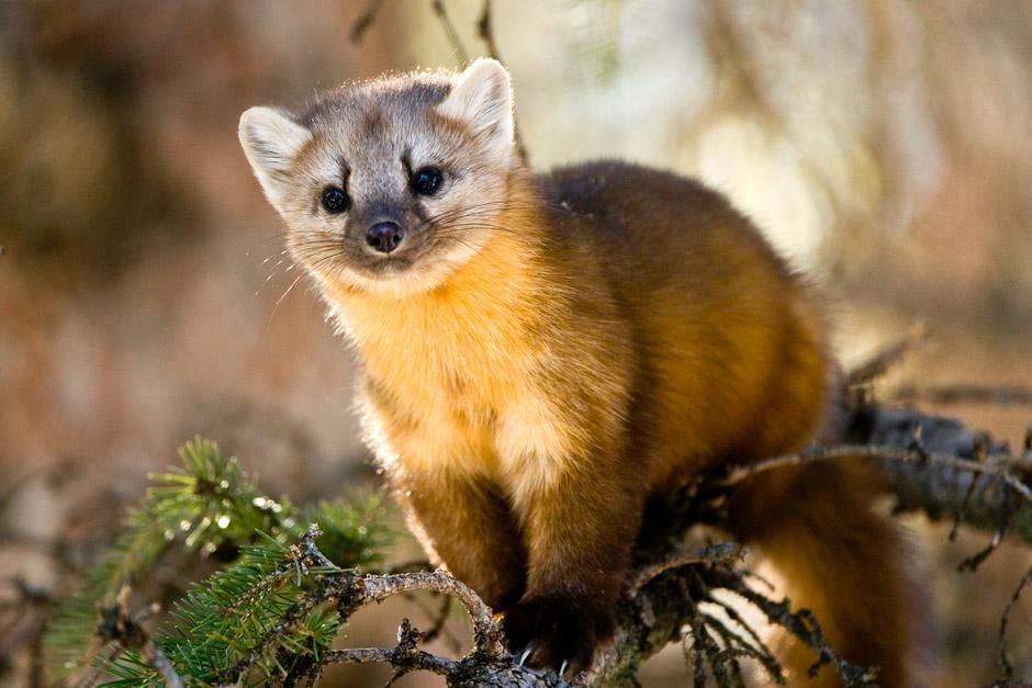 Lamar Valley, Yellowstone National Park: A young Pine Marten strikes a rare pose as he searches... [Photo of the day - June 2012]