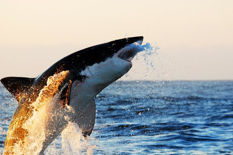False Bay, Cape Town, South Africa: A Great White Shark bursts through the surface while the sun... [Photo of the day - 六月 2012]