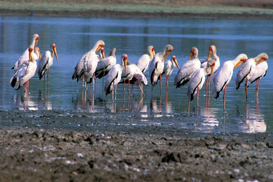 A group of Saddle-billed stork feeding.  This image is from Zambezi. [Photo of the day - ژولیه 2012]