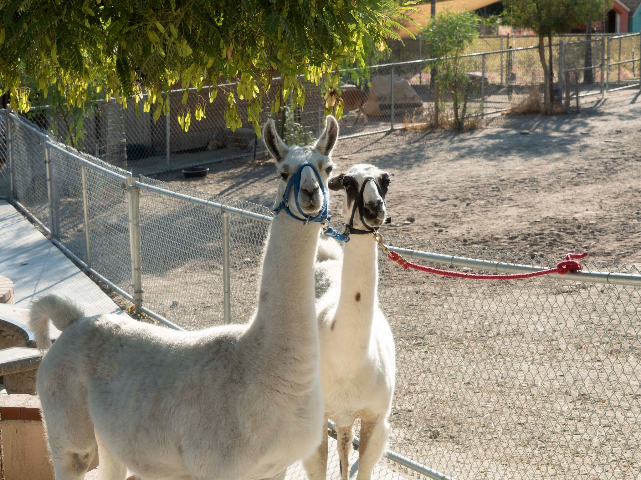 Two llamas are tied to a fence at the Dog Psychology Center in Santa Clarita, CA. This is from... [Photo of the day - May 2021]