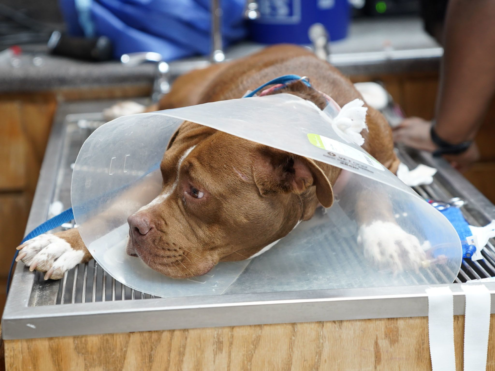 Mauve the rescue Pit Bull wears an Elizabethan collar after surgery to protect her sutures at... [Photo of the day - May 2021]