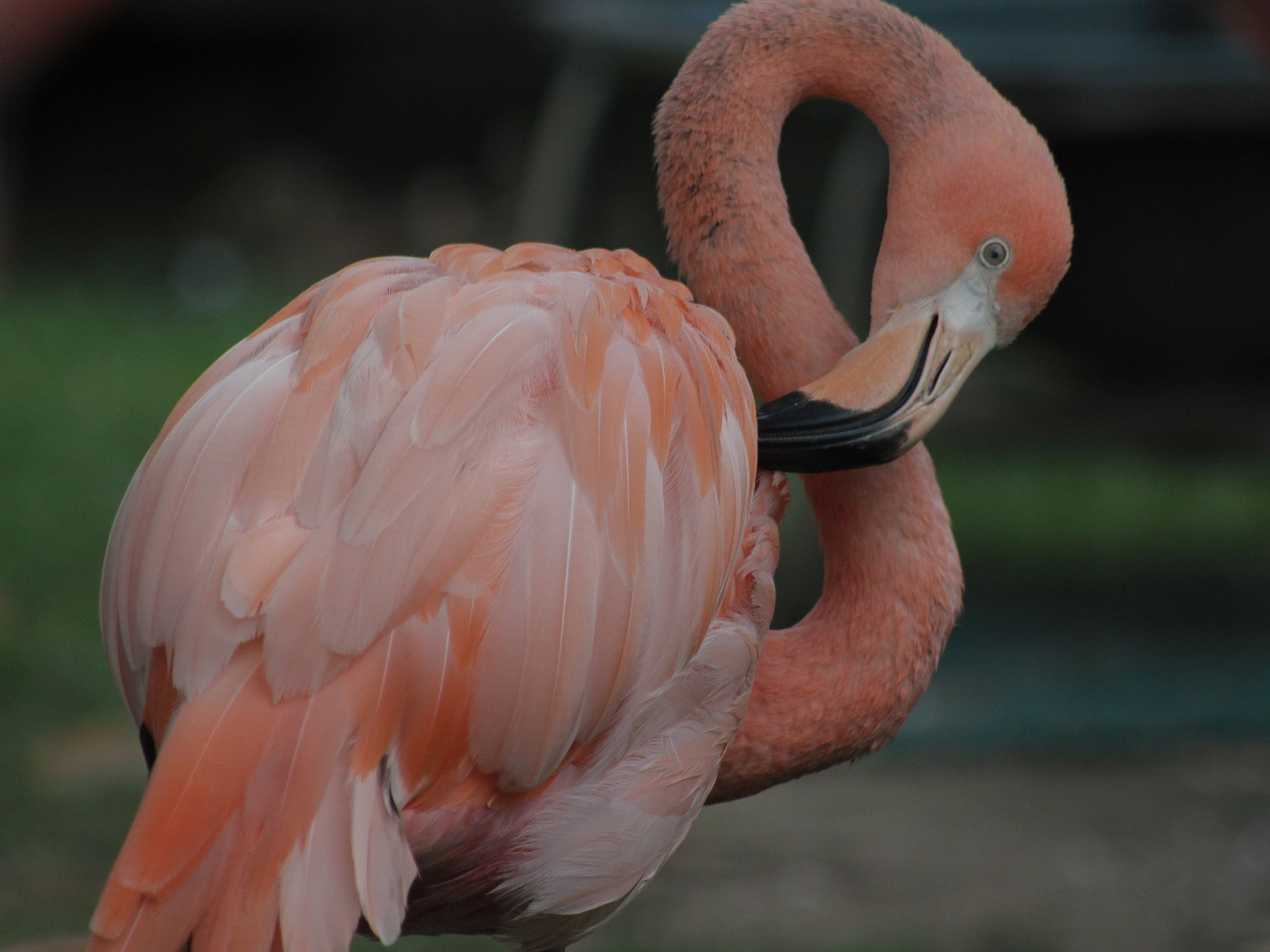 Flamingos at the zoo (National Geographic). This is part of Secrets of the Zoo Compilaitons. [Photo of the day - June 2021]
