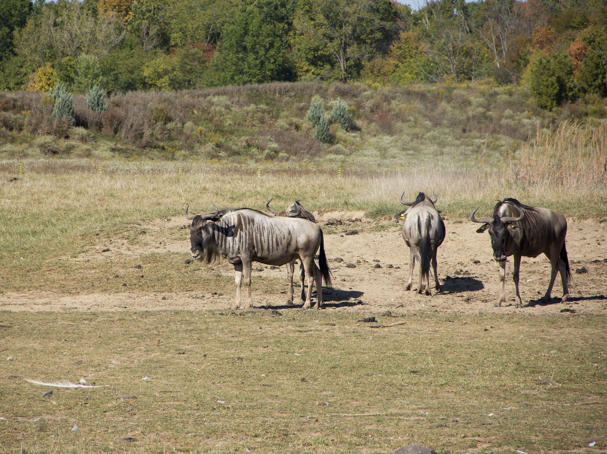 Powell, OH - Wildebeest at the Columbus Zoo's Heart of Africa exhibit. This is part of Secrets... [Photo of the day - June 2021]