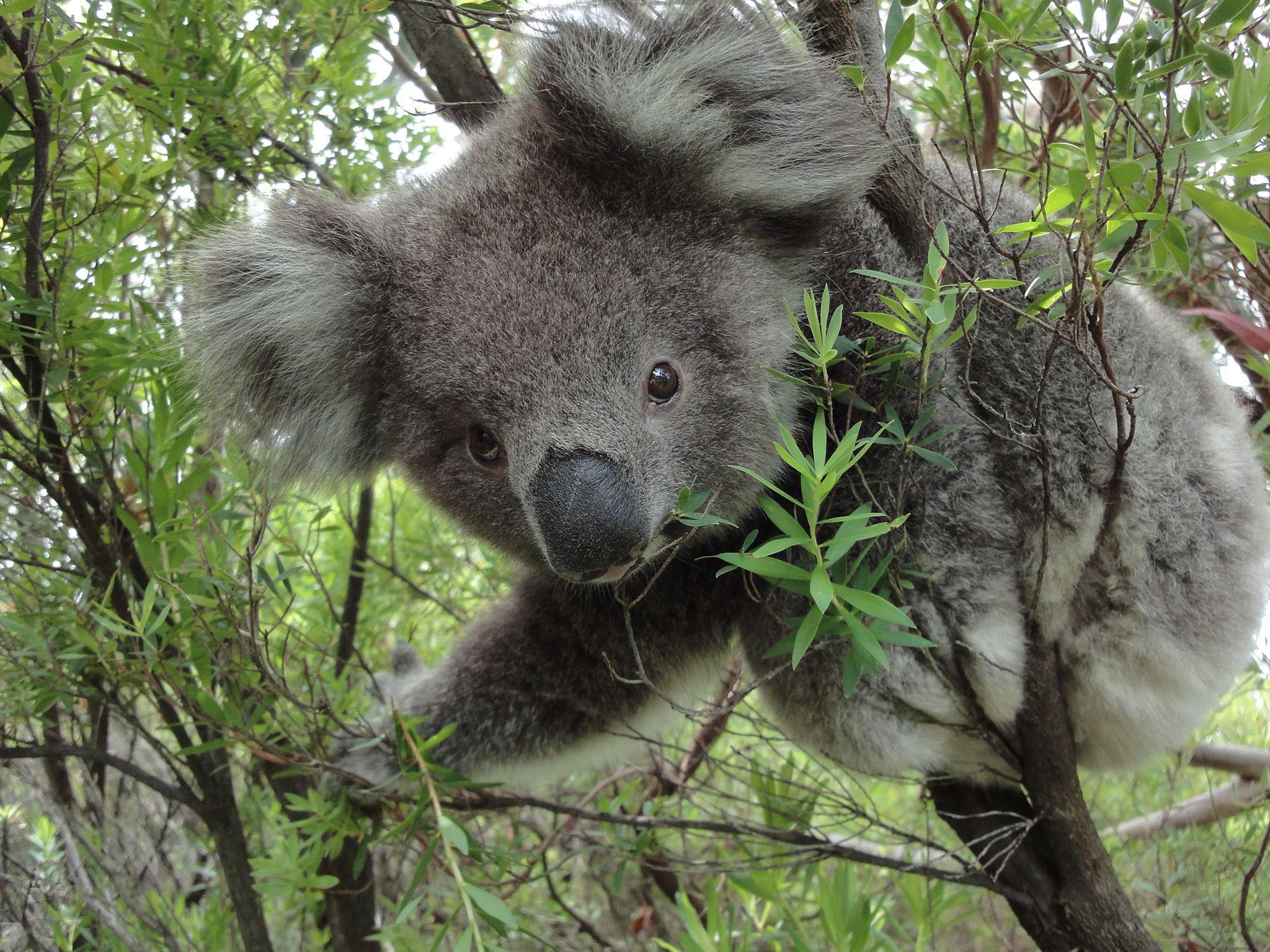Koala on Wild Australia. This is part of Wild Australia: Will To Survive [Photo of the day - June 2021]