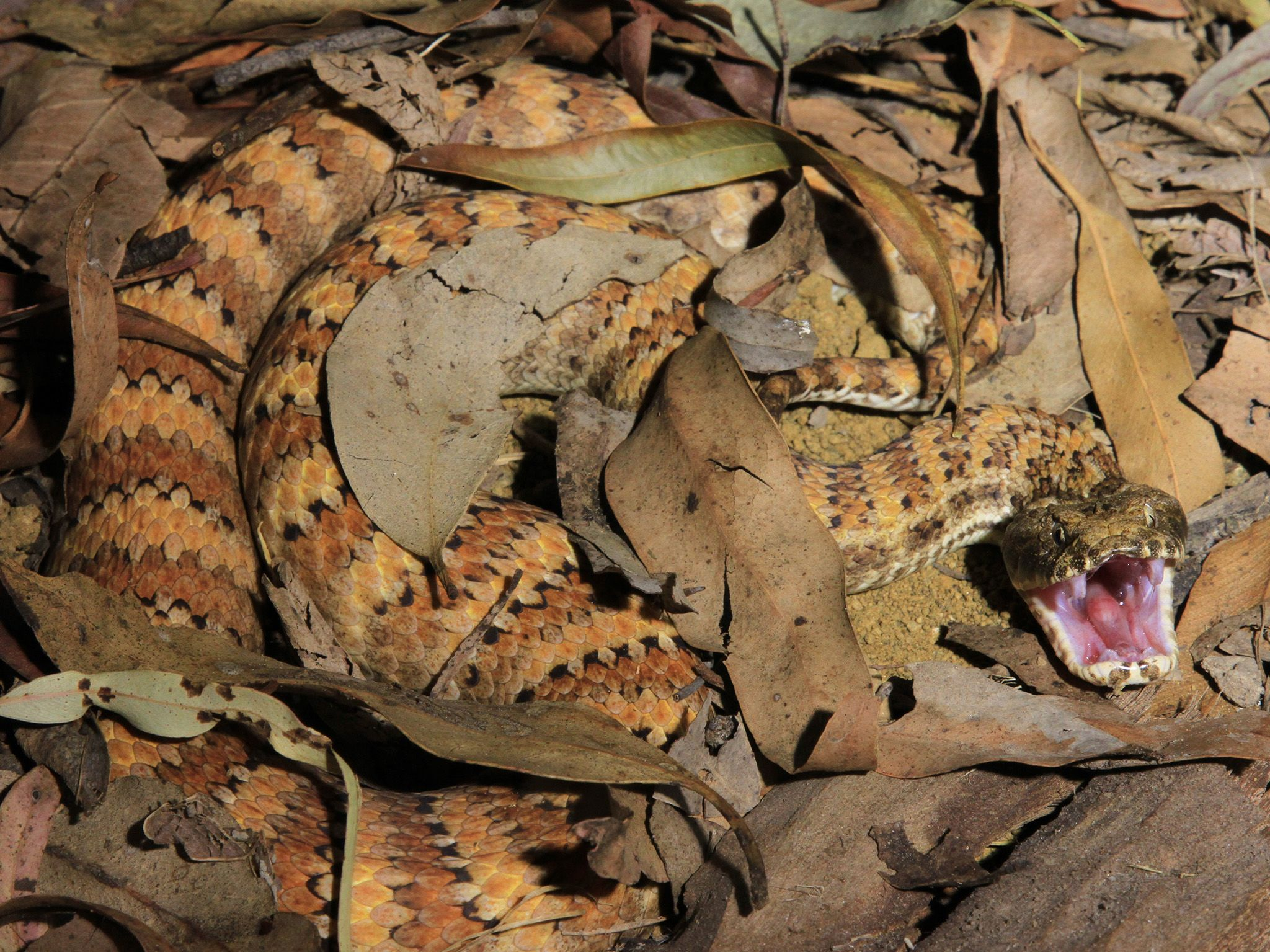 Snake on Wild Australia. This is part of Wild Australia: Will To Survive [Photo of the day - June 2021]