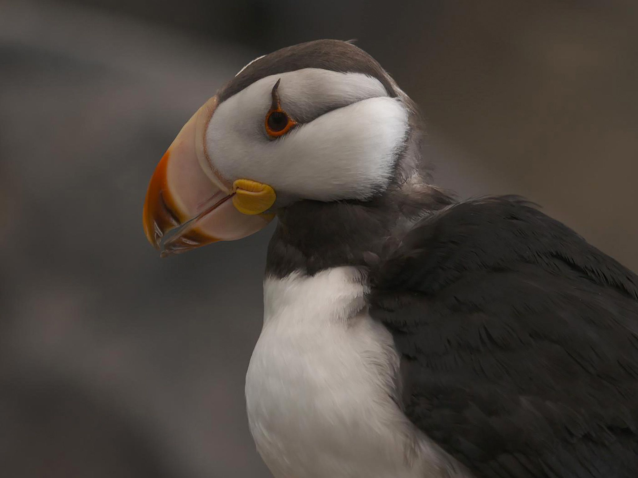 A horned puffin poses during one of Alaska SeaLife Center's Puffin Encounters. This is part of... [Photo of the day - June 2021]