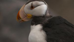 يتخذ طائر البوفن ذو... [Photo of the day - 14 يونيو 2021]