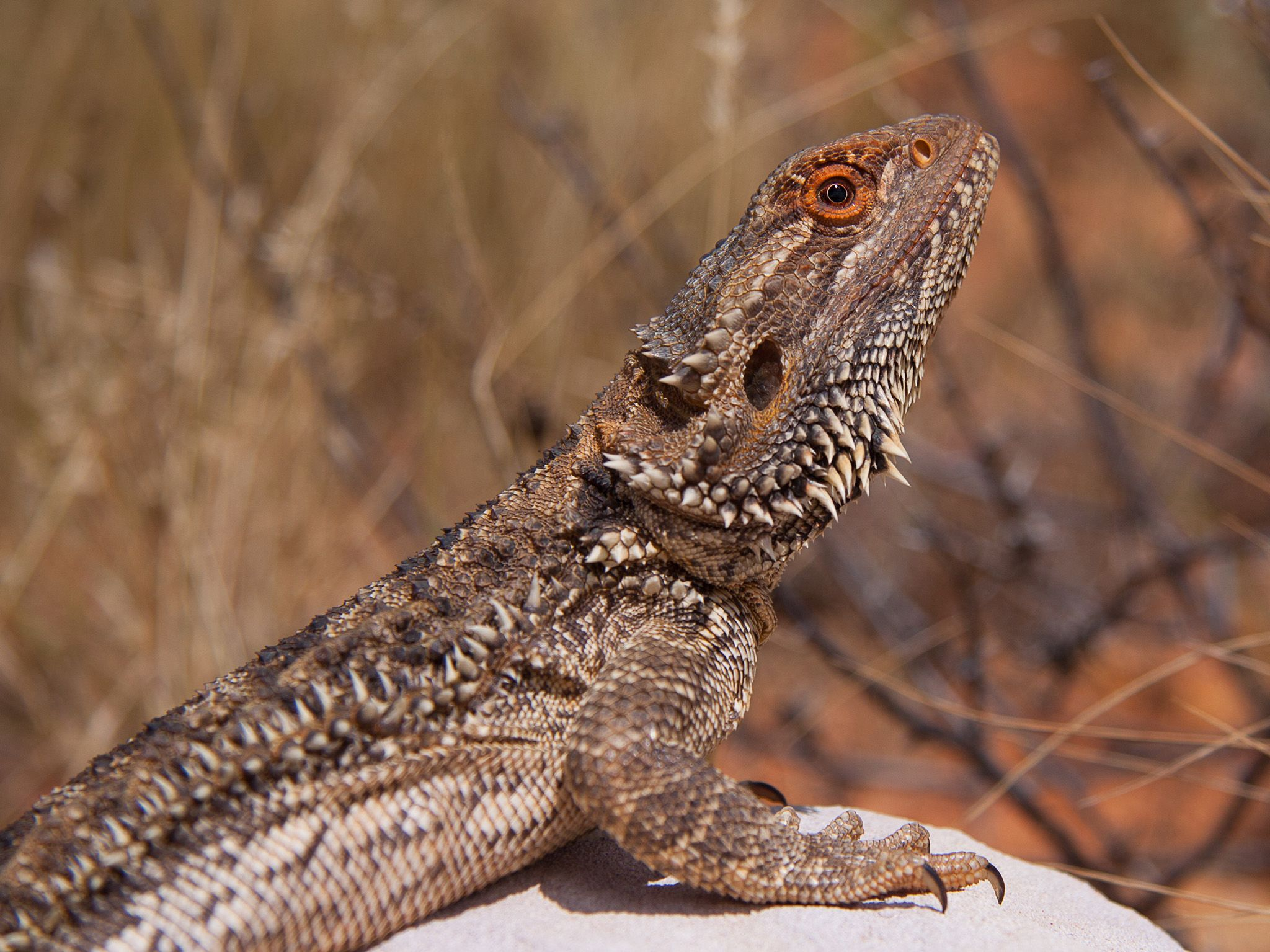 Wildlife of Australia. This is part of Wild Australia: Will To Survive [Photo of the day - June 2021]