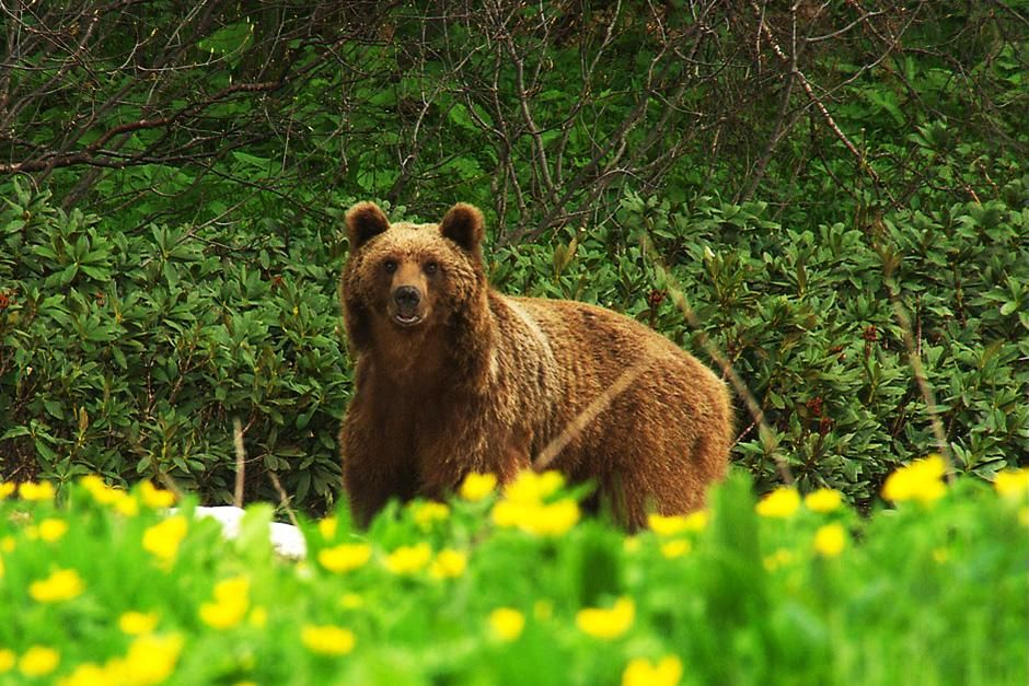 Bears roam the huge forest on the slopes of the Caucasian mountains. This image is from Wild Russia. [Photo of the day - July 2012]