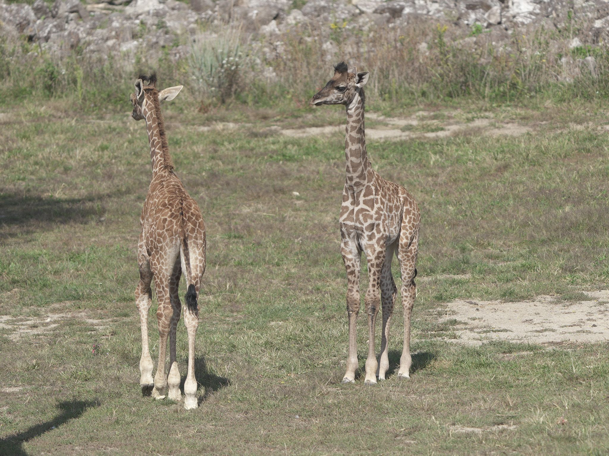 The Columbus Zoo is thrilled to watch the newest giraffe calves interact with each other. This... [Photo of the day - June 2021]