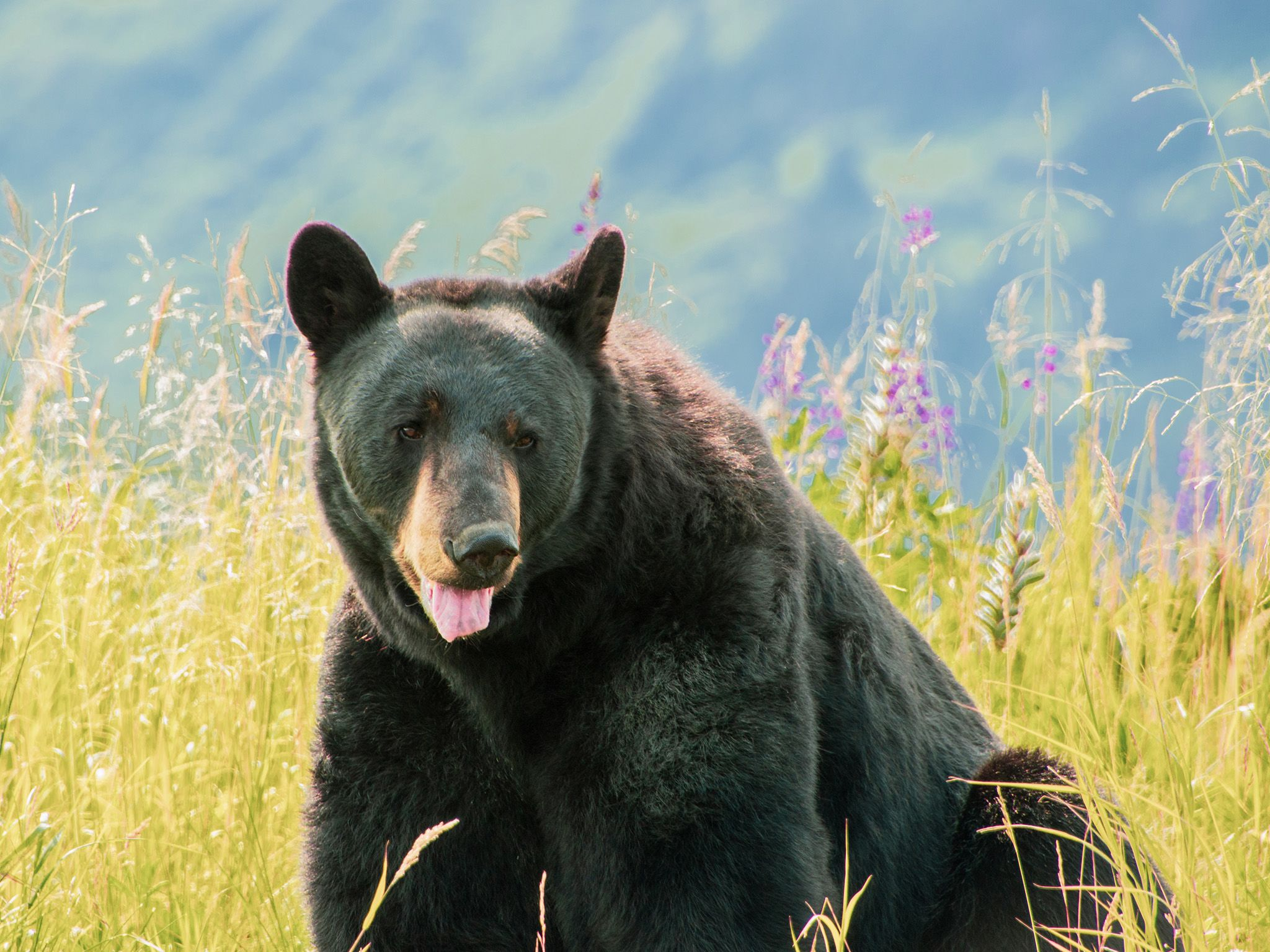 Kobuk, a resident black bear at the Alaska Wildlife Conservation Center, sits among flowers.This... [Photo of the day - June 2021]
