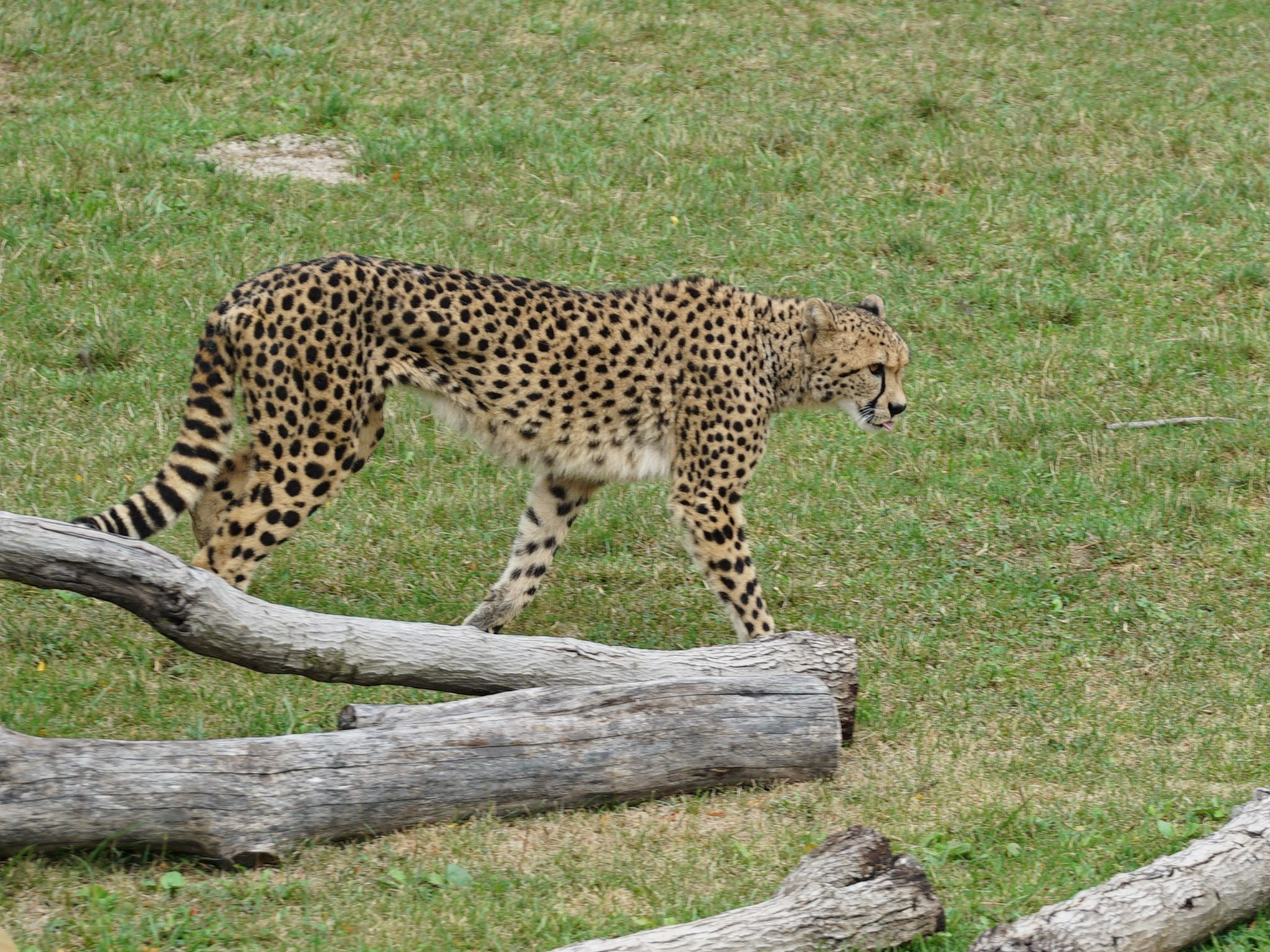 Kvamme the cheetah, a very important cheetah to the Columbus Zoo, on his 6th birthday. This is... [Photo of the day - June 2021]