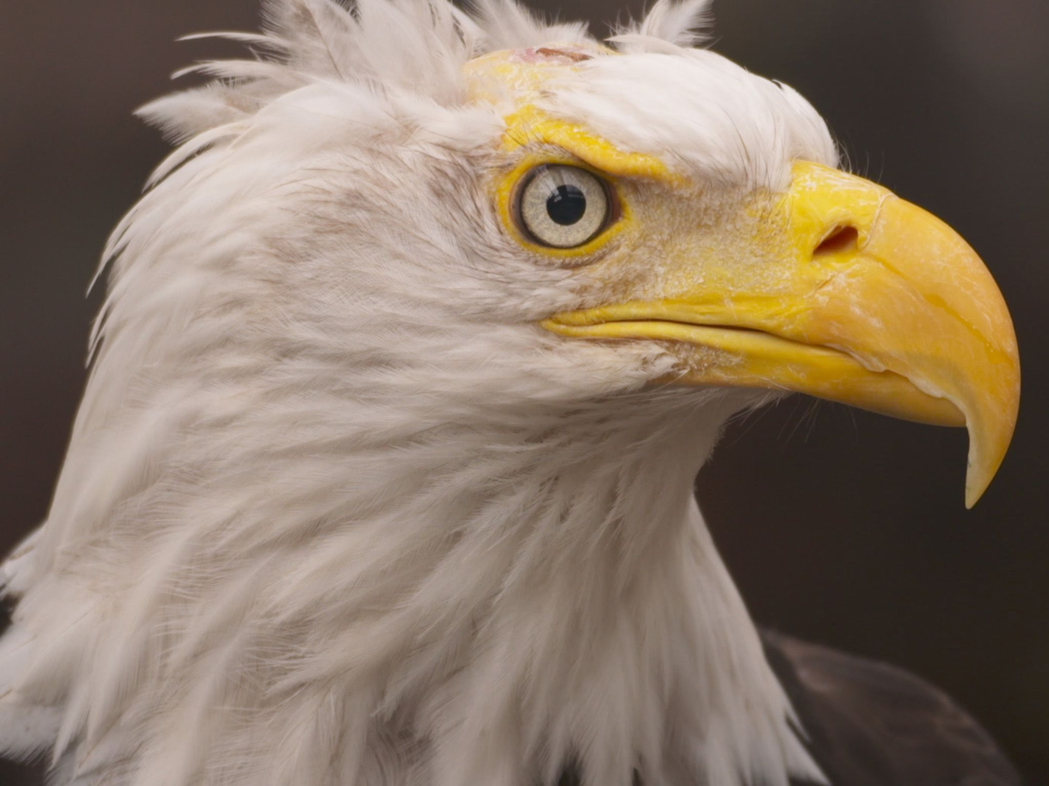 Friar Tuck, a Bald Eagle, at the Alaska Raptor Center. This is part of Alaska Animal Rescue [Photo of the day - June 2021]