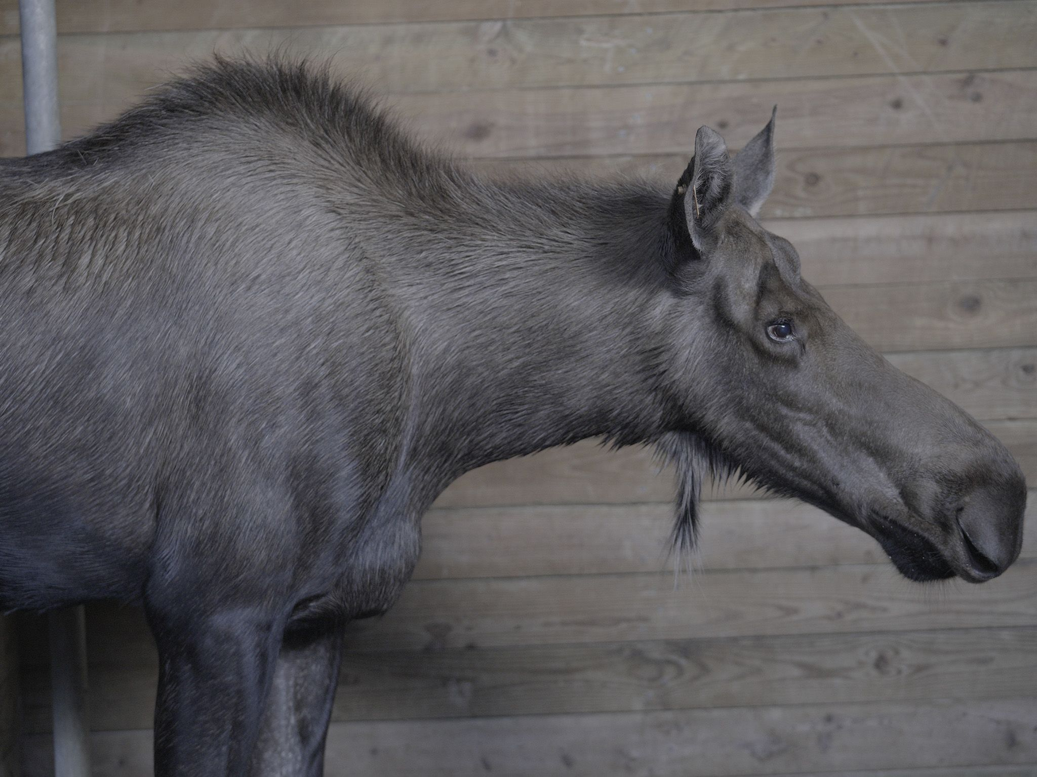 Bertha, one of the zoo's resident moose, has been coughing and having her keepers worried. This... [Photo of the day - June 2021]