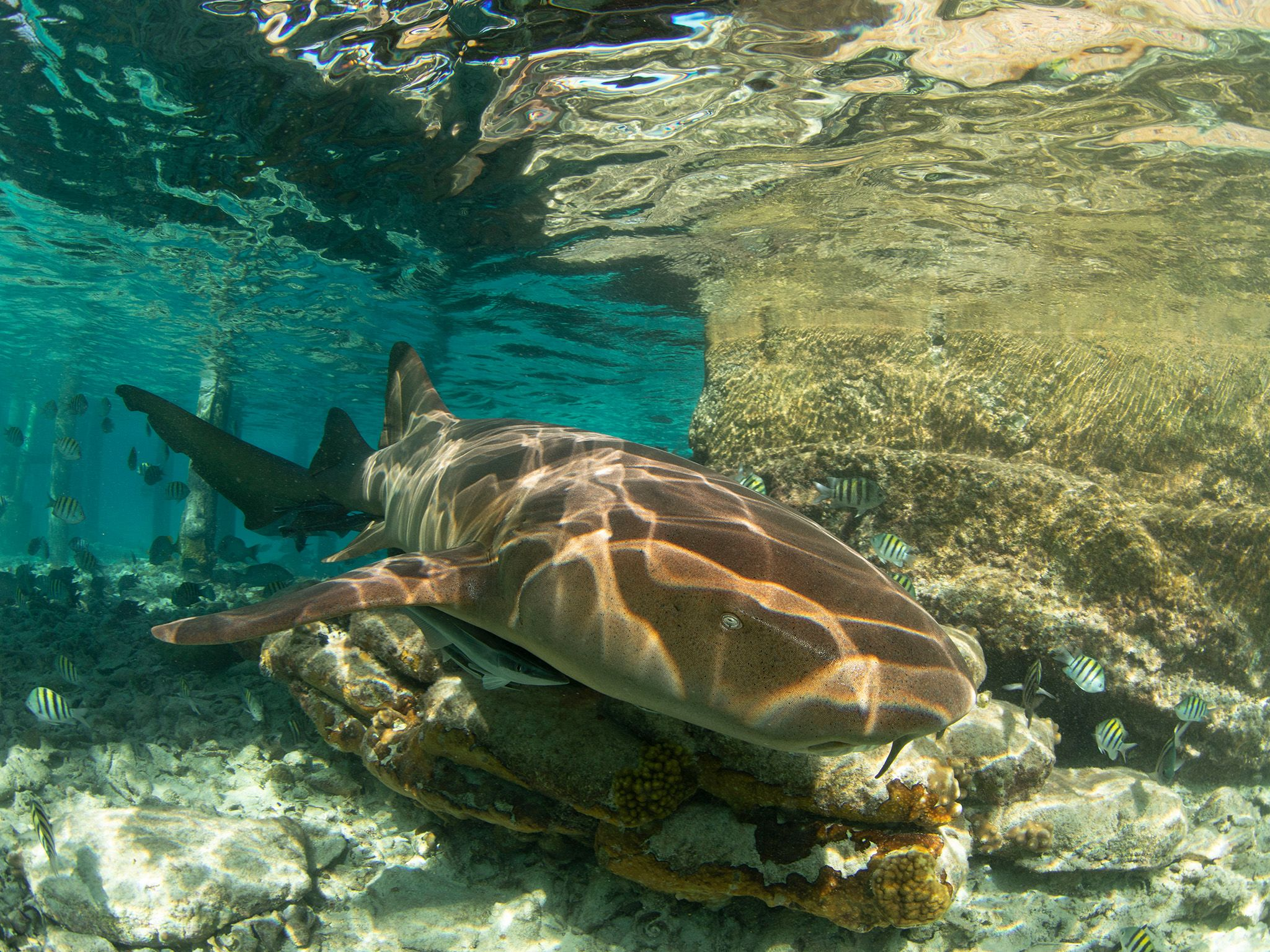 A nurse shark rests on a rock in shallow water near the dock. This is part of Shark Attack Files. [Photo of the day - July 2021]