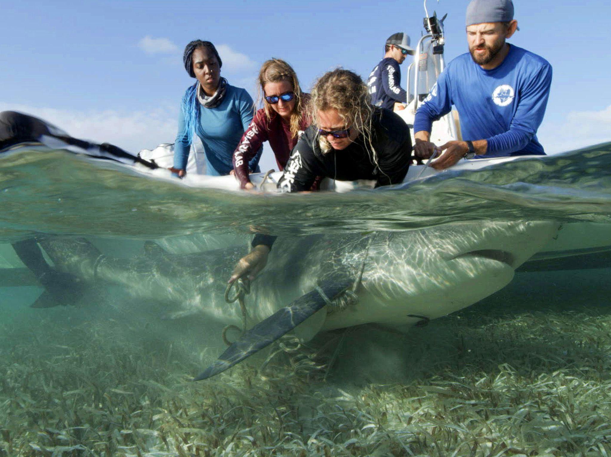 Eli Martinez, Matt Smukall, Raquel Braun, Chelle Blais and Carlee Jackson secure a shark to the... [Photo of the day - July 2021]
