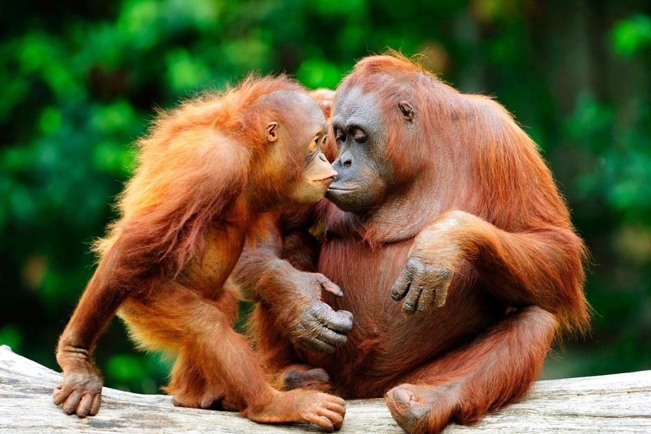 An adult and juvenile orangutan cuddle up close to one another. This image is from Safari Tracks. [Photo of the day - ژولیه 2012]