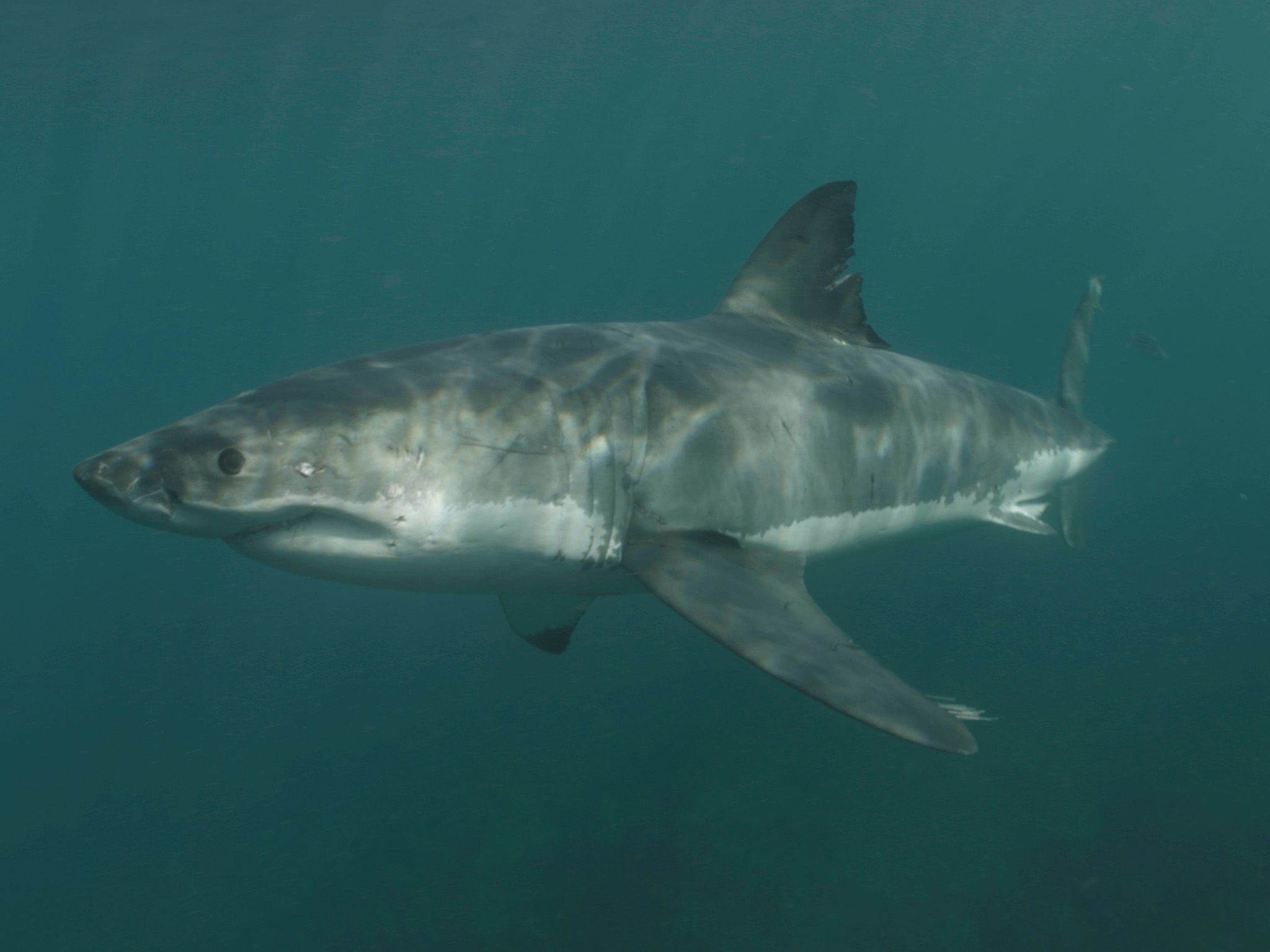 A great white shark with an interesting bite mark on its fin swims out of the deep. This is part... [Photo of the day - July 2021]