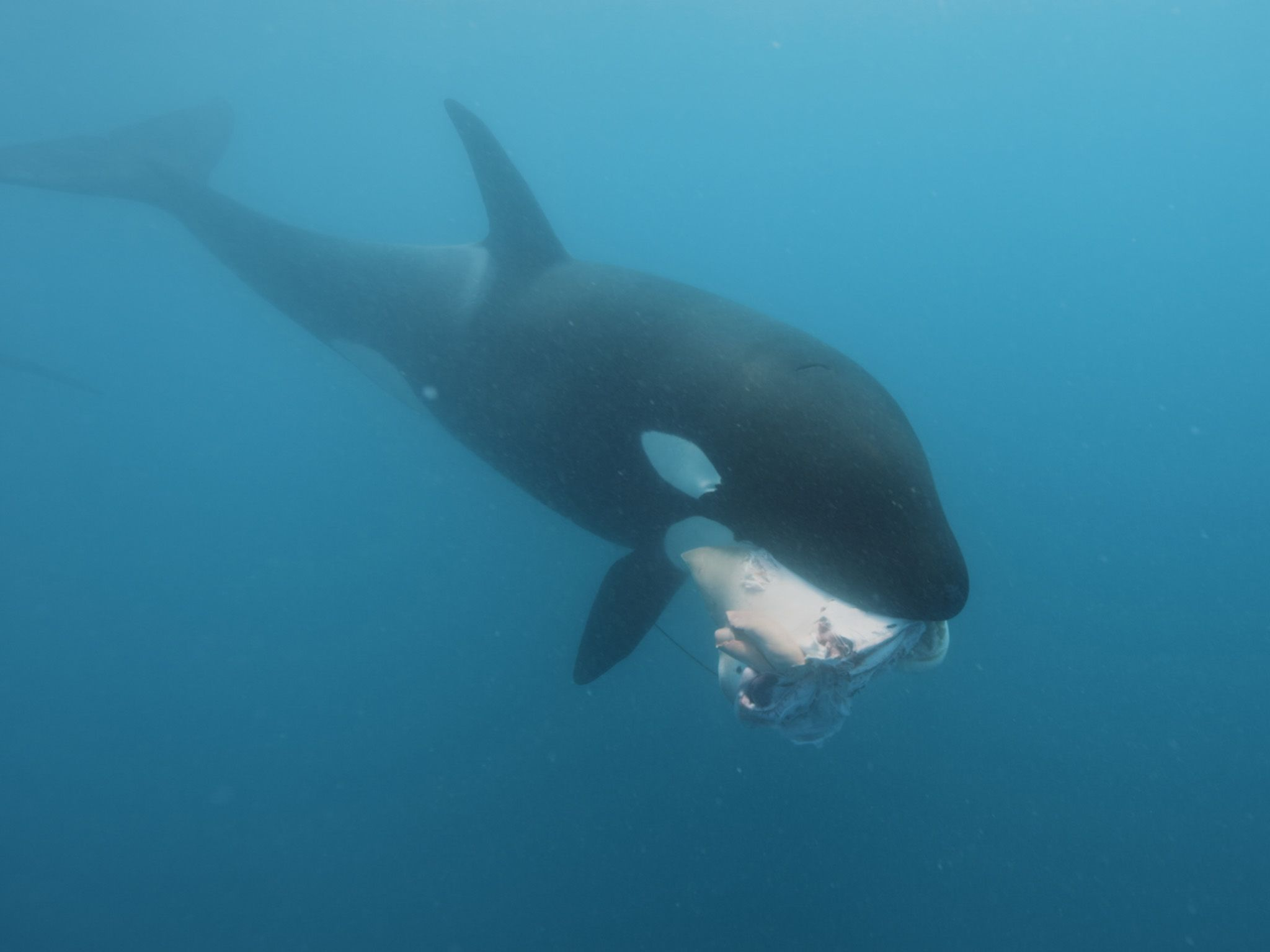 An orca swimming with a stingray in its mouth. This is part of Killer Whale vs Shark. [Photo of the day - July 2021]