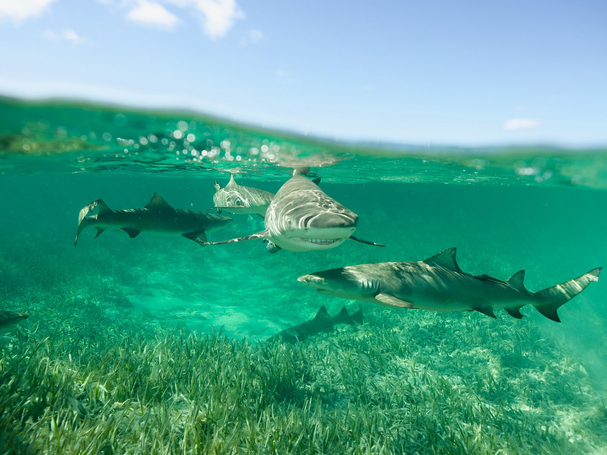 A gang of lemon sharks swims in a lagoon in Bimini, The Bahamas. This is part of Shark Gangs. [Photo of the day - July 2021]