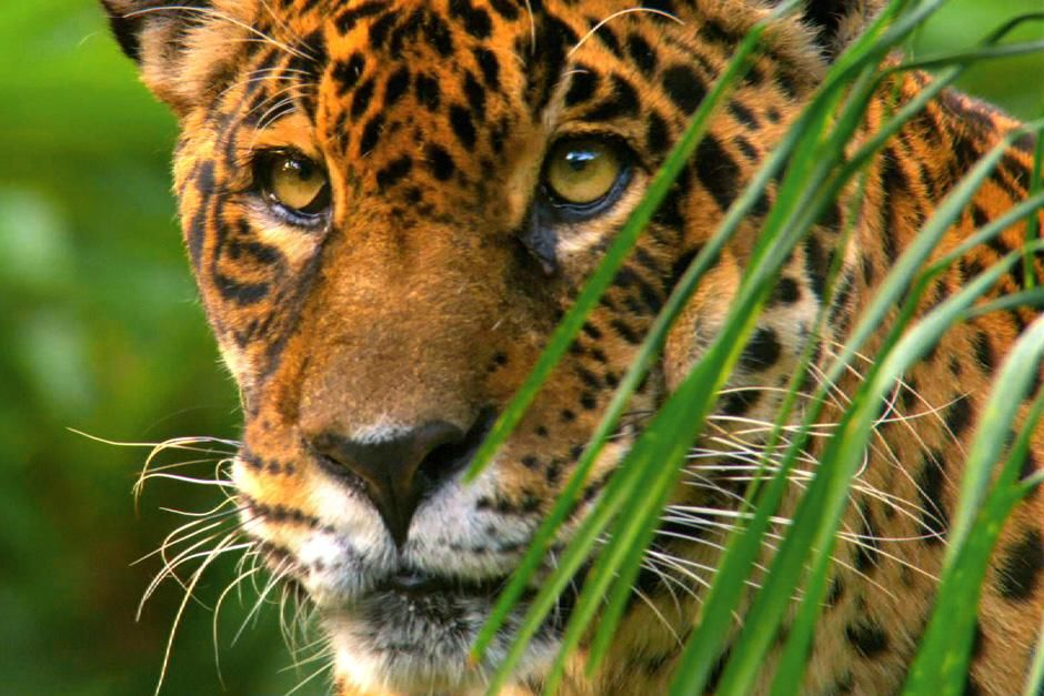 The jaguar (Panthera onca) is the largest and most powerful predatory cat in South America. This... [Photo of the day - July 2012]