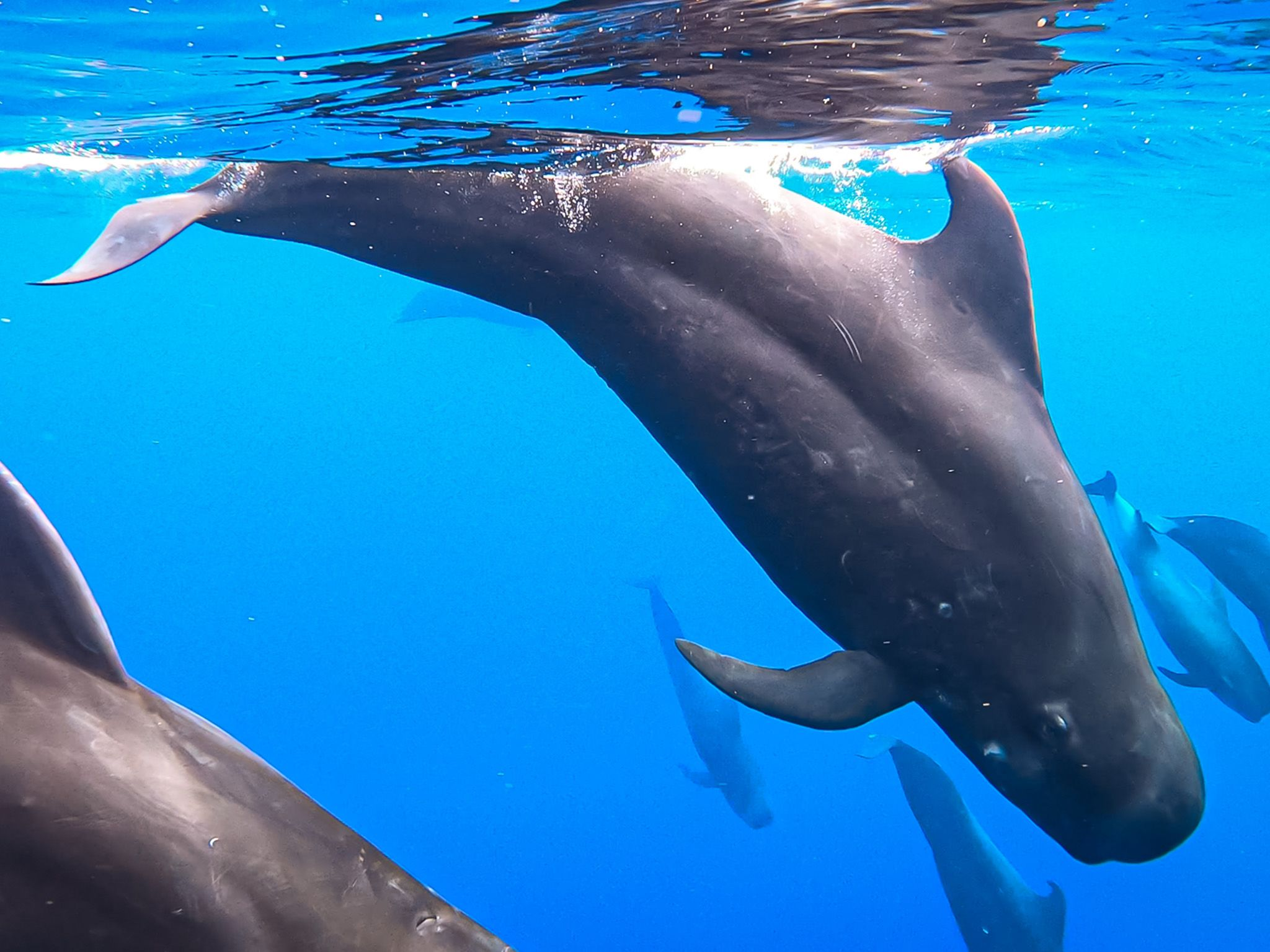 A pod of pilot whales descends into the blue where they can hunt for squid. Researchers have... [Photo of the day - July 2021]
