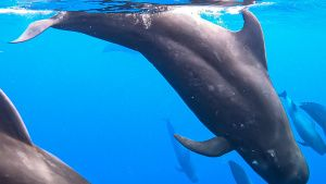 A pod of pilot whales descends into... [Photo of the day - 26 JULY 2021]