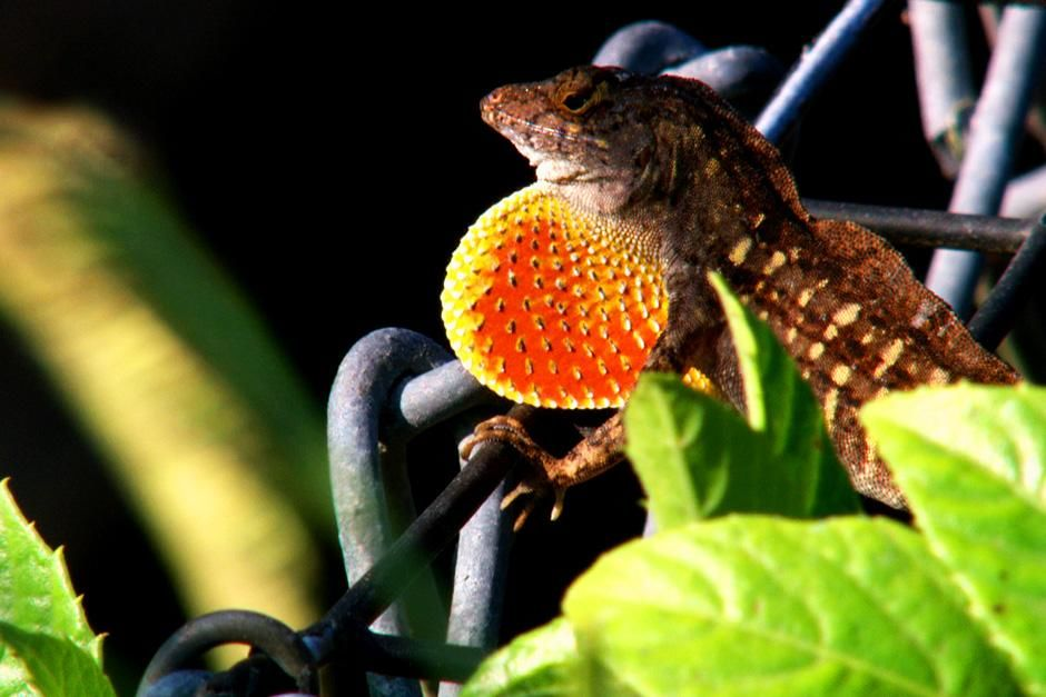 Big Cypress, FL, USA: A lizard shows its colors on a fence close up. This image is from Swamp Men. [Photo of the day - ژولیه 2012]