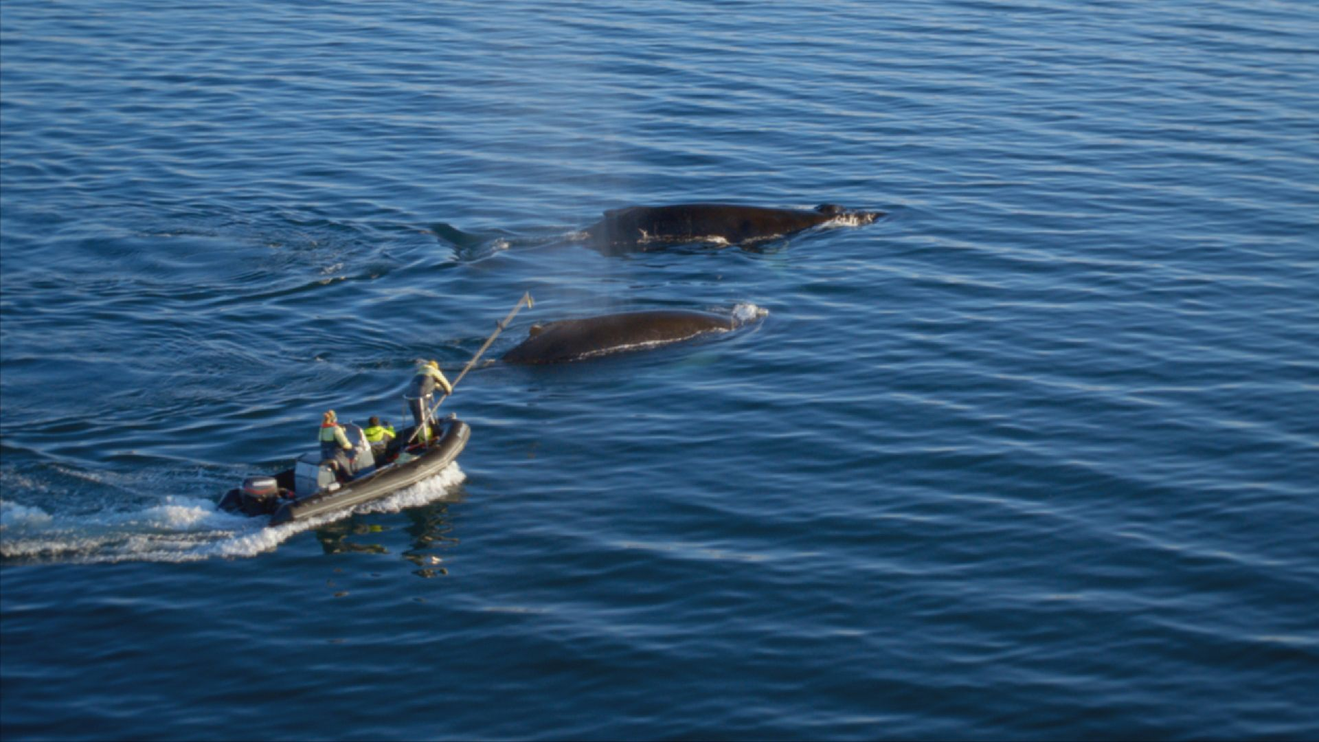 Team of scientists trying to tag a humpback whale. This is from Europe from above, season 4. [Photo of the day - September 2021]