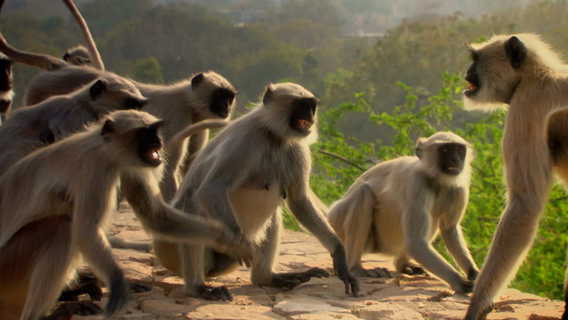 Female hanuman langurs (Semnopithecus entellus) fending off males. This is from Deadly Instincts. [Photo of the day - September 2021]