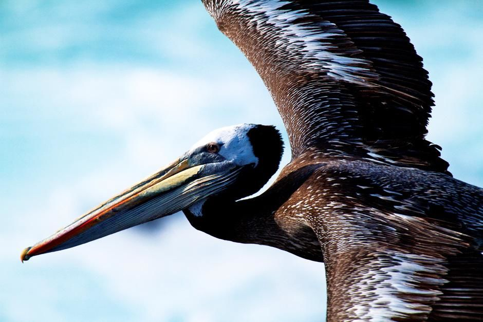 Pelican, Punta San Juan, Peru. This image is from Untamed Americas. [Photo of the day - ژولیه 2012]